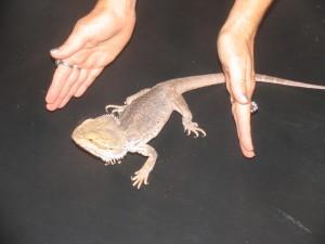 fiver lizard reiki